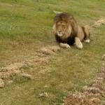 Alpah male lion at Kwantu
