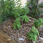 Kitchen herb garden!