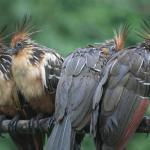 Ave pre histórico del parque nacional del Manu (hoatzin)