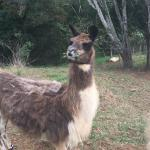 A llama we saw on our walk around the Cottages.