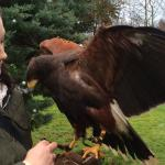 Isabella the Harris hawk