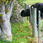 funny cattle, reaching onto my side of the fence for something different to eat.