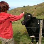 Our friendly Cow, loves pats and being handfed grass.