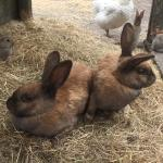 See our big rabbits