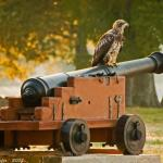 A young Bald Eagle sits atop a cannon at Historic Jamestown