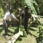Kasun cutting down banana trees in the garden.