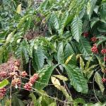coffee plantation around the facility