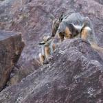 Rock wallaby mum & baby