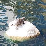 Lakeside Turtle