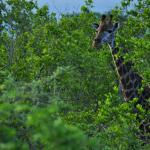 Giraffe spotted during one of the safari tours