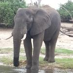 Elefant am Chobe-Fluss