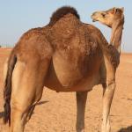 Camellos en medio de la nada