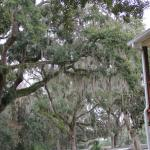 Beautiful Oaks with Spanish Moss in the front area