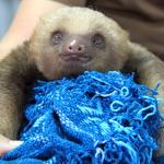 Orphaned baby sloth
