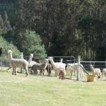 The beautiful Alpacas waiting to be fed