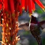 Hummingbirds and Aloe flowers