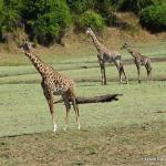 giraffe on our final game drive