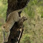 Leopard before making a kill in Kruger