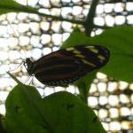 Tiger leafwing