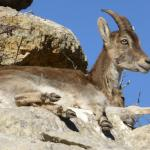 Ibex sitting on rock ledge in El Torcal Park