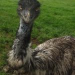 close n personal to an emu