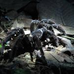The chicken spider
