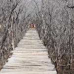 Puente de madera en el Manglar de Avellanas