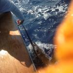 Estimated 350 pound Blue Marlin about to be released.