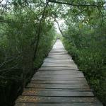 Puente artesanal entre el manglar