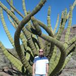crested organ pipe