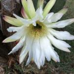 Rare to see flowering Cactus Cereus peruvianus.