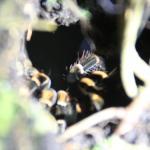 самка паука-tarantella
