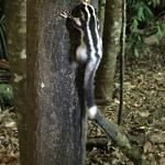 A nocturnal tree squirrel which came to lick the honey smeared on the tree trunk.