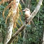 Laughing Kookaburra which perched outside my room, photographed with my handphone.