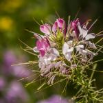 Cleome blooming