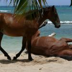 Horses playing at Bastimento Beach