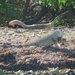 Iguana on the island