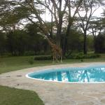 Giraffe Poolside