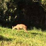 Local Deer outside accomodation