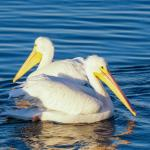 White pelicans looking for food
