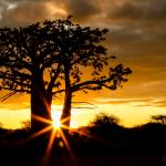 Sunset under the baobab tree