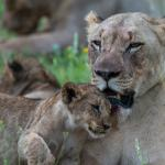 Lioness and Cub seen inside the Game Reserve