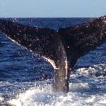 Maui Whale Watch 12/2014