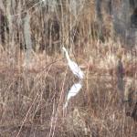 White egret!