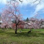 Encanto - Cerejeiras em Flores