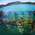 Mussel farms in Marlborough Sounds