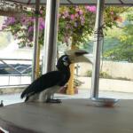 Feeding d hornbill