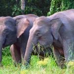 Borneo Pygmy Elephants in the wild