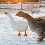 Ask Pam about her famous duck and goose.
