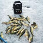 Perch caught by the writer off of Couchiching Park in the winter.